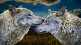 Собаки окружали волчицу, матёрый ветром летел на помощь
