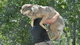 Волк не мог найти себе места, он искал помощи у людей. Только один осмелился