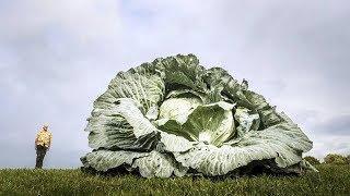 Удивительные овощи гиганты, некоторые попали в Книгу Рекордов Гиннеса!