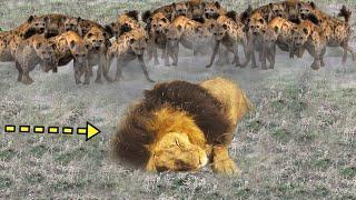EPİC BATTLE: King Lion vs Hyenas | Big Cat: Lion Attacked by Clan of Hyenas | Wild Animal Attacks