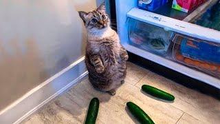 Вот Почему на Самом Деле Коты Боятся Огурцов