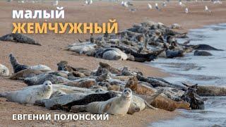 Остров Малый Жемчужный, Каспийская нерпа