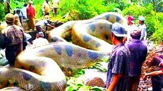 The largest and longest anaconda snake on the Amazon river that the camera ever recorded